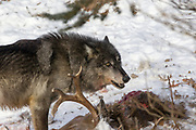 A black wolf feeds on a deer carcass in winter habitat. Captive pack.