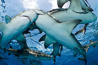 Lemon Sharks crowd at the surface<br /> <br /> Shot in Bahamas