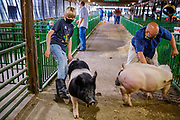 21 JULY 2020 - COLFAX, IOWA: A boy takes his hogs to the washing area before the swine show at the Jasper County Fair in Colfax, about 30 miles east of Des Moines. Summer is county fair season in Iowa. Most of Iowa's 99 counties host their county fairs before the Iowa State Fair. In 2020, because of the COVID-19 (Coronavirus) pandemic, many county fairs were cancelled, or scaled back to concentrate on 4H livestock judging. The Iowa State Fair was cancelled completely. The Jasper County Fair cancelled most events and focused on just the 4H contests. Tuesday were the swine contests.          PHOTO BY JACK KURTZ