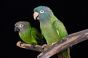 Blue-Crowned (Thectocercus acuticaudatus) & Dusky-Headed Conure (Aratinga weddellii). Cricket is blind in one eye, but is outgoing, friendly, and adores women. Garble tries to say words, but like his name implies, they come out all garbled.