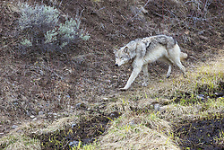 Yellowstone Wolf #820 of the Lamar Pack in Yellowstone National Park