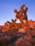 CADJT_112 - USA, California, Joshua Tree National Park, Joshua tree and monzonite granite boulders at sunrise, near Jumbo Rocks.