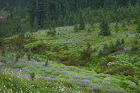 Wildflower meadows of Paradise with a mixture of Broadleaf Lupines, and American Bistort. Mount  Rainier National Park, Washington