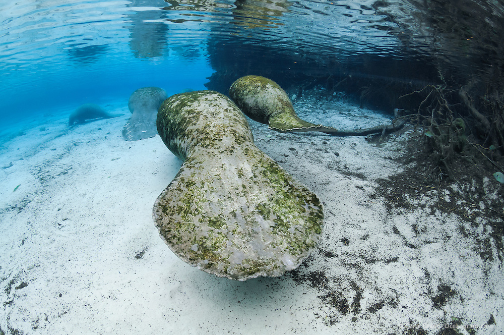 Florida manatee, Trichechus manatus latirostris, a subspecies of the West Indian manatee, endangered. A mother and calf swim past submerged tree roots and into the warm blue freshwater springs. Other manatee rest in the background. A few bream, Lepomis spp., are amidst the tree roots. Horizontal orientation. Three Sisters Springs, Crystal River National Wildlife Refuge, Kings Bay, Crystal River, Citrus County, Florida USA.