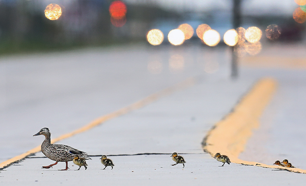 A duck takes advantage of a lull in traffic to lead her ducklings across Highway 281 Tuesday in Grand Island. (Independent/Matt Dixon)
