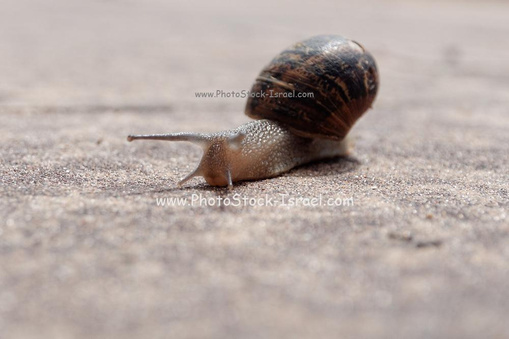 Snail crawls on sand Close-up