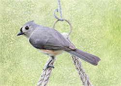 A Tufted Titmouse On The Ropes with a Green Scratched Background