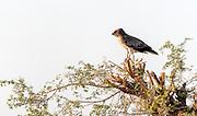 Short-toed snake eagle (Circaetus gallicus) from jawai, Rajasthan, India.