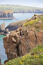 Bird's-foot trefoil on the cliffs at The Lizard Peninsula, Cornwall. Lotus corniculatus