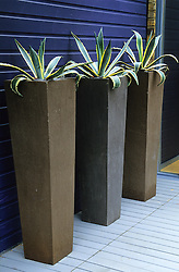 Agave americana 'Marginata' in tall stone containers