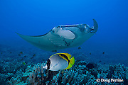 lined butterflyfish, Chaetodon lineolatus, and manta ray, Manta birostris, at cleaning station, Honokohau, Kona, Hawaii ( the Big Island ), Hawaiian Islands, U.S.A. ( Central Pacific Ocean )