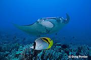 lined butterflyfish, Chaetodon lineolatus, and manta ray, Manta birostris, at cleaning station, Honokohau, Kona, Hawaii ( the Big Island ), Hawaiian Islands, U.S.A. ( Central Pacific Ocean )
