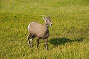 White-tailed deer, Badlands National Park, South Dakota, USA