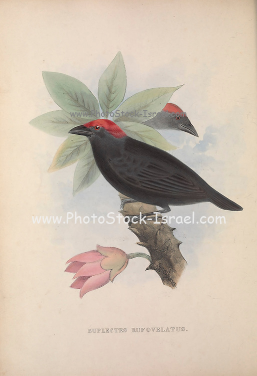 Weaver (Euplectes Rufovelatus) from Zoologia typica; or, Figures of new and rare animals and birds described in the proceedings, or exhibited in the collections of the Zoological Society of London. By Fraser, Louis. Zoological Society of London. Published London, March 1847
