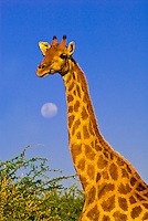 A Giraffe with a full moon in the background, Etosha National Park, Namibia