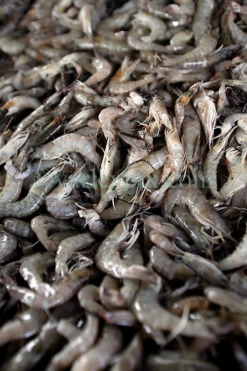 01 June 2010. New Orleans, Louisiana, USA.  <br /> Fresh shrimp at Dean Blanchard Seafood Inc in Chalmette.<br /> Photo; Charlie Varley/varleypix.com