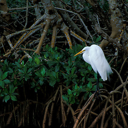 Sanibel, FL.A great egret, Ardea alba, at Ding Darling National Wildlife Refuge.  Red Mangrove swamp.