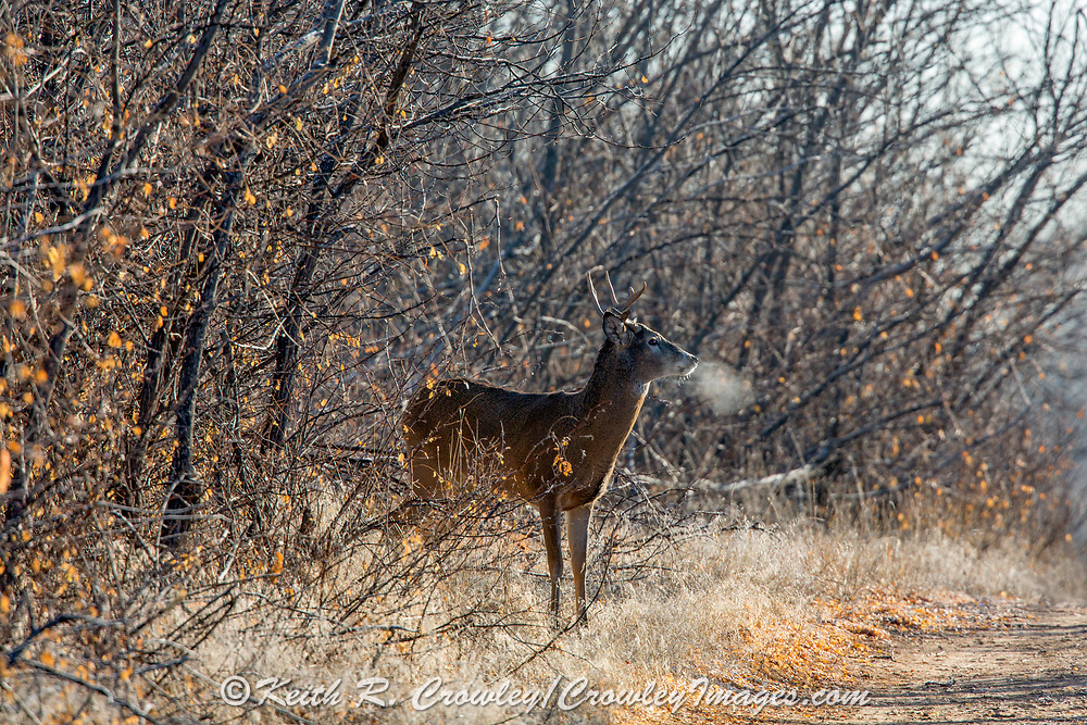Whitetail buck with one antler back-lit