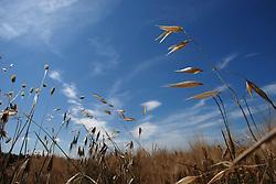 Campo di grano lungo la costa nord di Brindisi