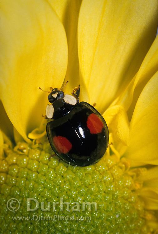 A two-spotted ladybird beetle (Adalia bipunctata) on a garden flower in Portland, Oregon.