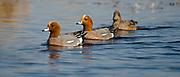Wigeons (Anas penelope) at Lake Hornborga, Sweden.