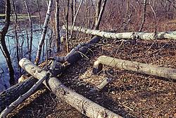 Trees Felled By Beaver