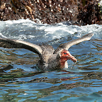 A bloody-faced southern giant petrel (Macronectes giganteus) washes in the ocean after feeding on a dead fur seal in Elsehul, a bay on the northwest coast of South Georgia Island.