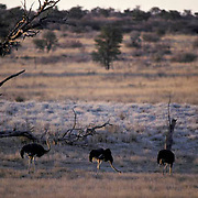 Ostrich, (Struthio camelus) Small group of females with male in Kalahari Desert. Africa.