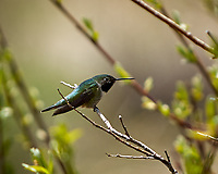 Broad-tailed Hummingbird. Rocky Mountain National Park. Image taken with a Nikon D2xs  camera and 70-200 mm f/2.8 lens + 1.4x teleconverter.