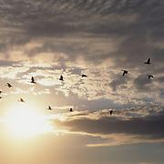 Canada Goose (Branta candensis) in southern Manitoba, Canada.