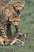 Cheetah<br /> Acinonyx jubatus<br /> Eight month old cubs holding down a fawn<br /> Ngorongoro Conservation Area, Tanzania<br /> Two eight month old cubs hold down a Thomson's gazelle fawn as they learn how to catch prey