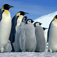 Penguin of the Day -  Emperor