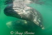 friendly gray whales, Eschrichtius robustus, mother (below & behind) and calf (at surface), swim into shadow of tour boat; San Ignacio Lagoon, El Vizcaino Biosphere Reserve, Baja California Sur, Mexico