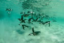 Spheniscus demersus, Brillenpinguine, Tauchende Pinguine unterwasser, African penguins or Jackass penguin or black-footed penguins, Diving Pinguins underwater, Suedafrica, Simons Town, False Bay, Boulders Beach, South Africa
