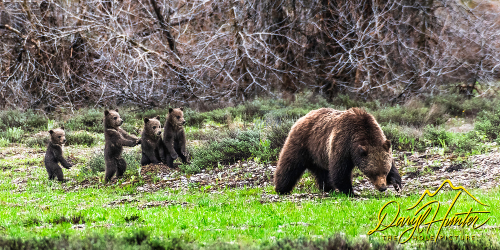Four new grizzly bear cubs planning their next move with much trepidation.  Grizzly 399's cub crop of spriingng 2020.