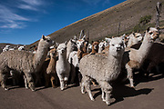 Alpacas (Vicugna pacos) going to pasture<br /> Pulingue San Pablo community<br /> Chimborazo Province<br /> Andes<br /> ECUADOR, South America