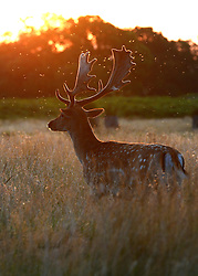 © Licensed to London News Pictures. 18/08/2012. Richmond, UK Flies swarm over deer in an early morning sunrise, seen from Richmond Park, over the skyline of London on Saturday 18 August 2012 as the UK's capital city prepares itself for temperatures of over 30 degrees celsius in what is expected to be one of the hottest August weekends on record. Photo credit : Stephen Simpson/LNP