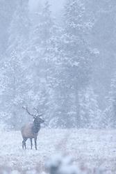 Bull elk, snowstorm, grand teton national park, jackson hole, wyoming