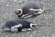 Magellanic Penguins (Spheniscus magellanicus) resting at their breeding colony on Isla Martillo in the Beagle Channel. Ushuaia, Argentina. 13Feb16