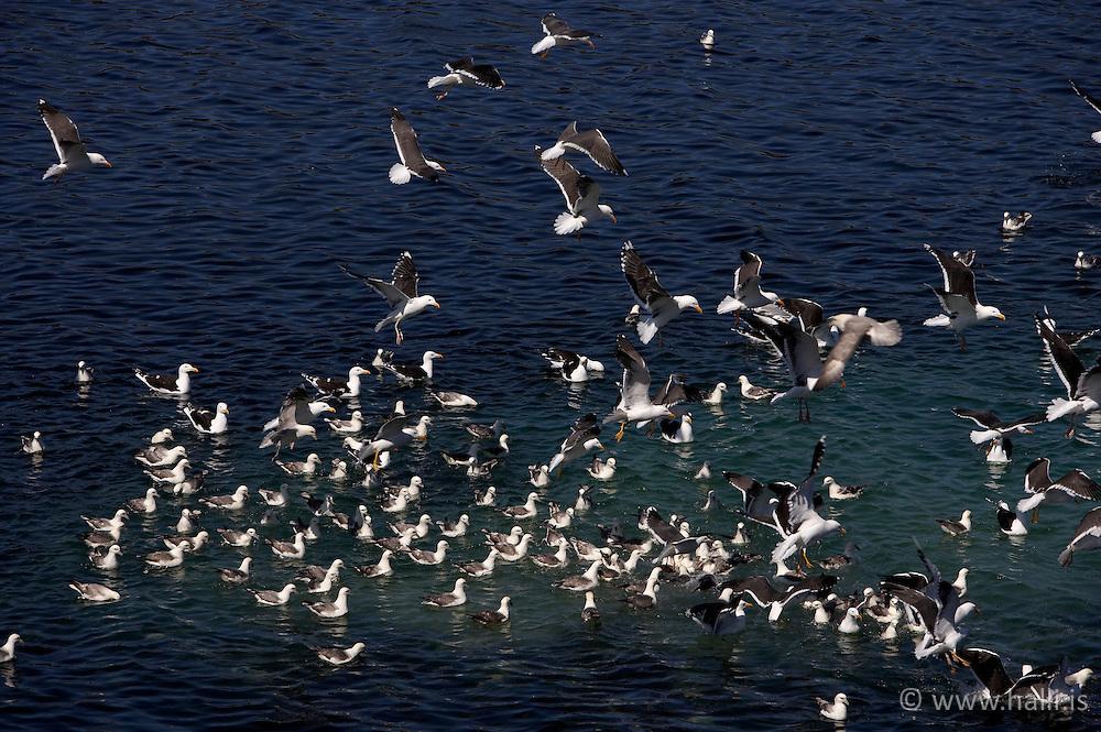 Birds in Stykkisholmur, Snaefellsnes, Iceland - Fuglalíf í Stykkishólmi