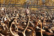 Slaughtering season, Gåbrien Sijte, Brekken in Mid-Norway.