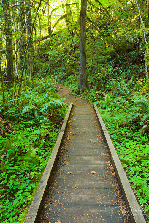 Boardwalk through lush forest on the trail to Falls Creek Falls, Umpqua National Forest, Oregon