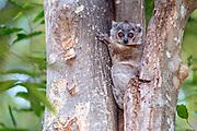 White-footed sportive lemur (Lepilemur leucopus) from Berenty Reserve, southern Madagascar