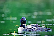 Common loon with young on back to protect it from predators, both from the sky and beneath the water - Quebec, Canada.