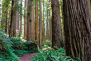 Jedediah Smith Redwoods State Park In Redwood Grove