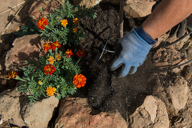 A gardener mulches the plants to help reduce watering in Smartsville, Calif. on June 26th, 2014.  Kelly M. Grow/ California Department of Water Resources