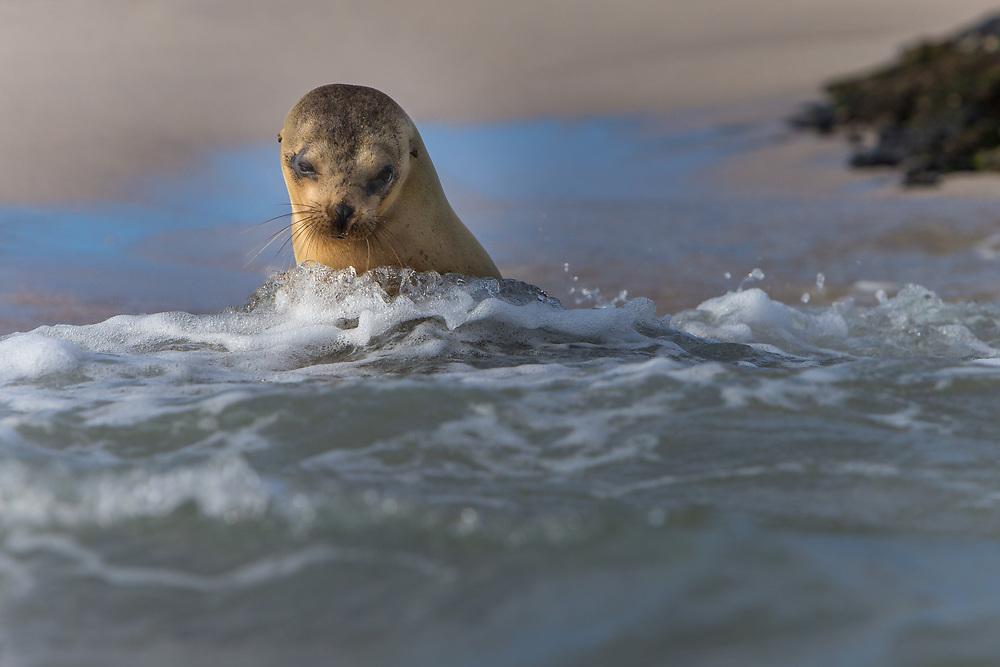 Sea Lion at the Galapagos Islands