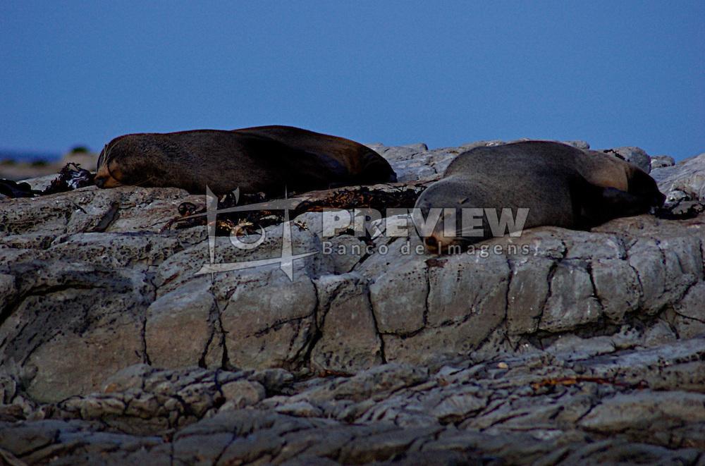 A pequena cidade de Kaikoura segue a costa até chegar as montanhas. Durante o mês de outubro acontece a festa do Mar, que atrai milhares de turistas. Também é em Kaikoura que encontra-se a maior colônia de focas. Um caminhada pelas rochas junto a costa possibilita a aproximação aos animais. Apesar da aparencia tranquila e despreocupa e necessário manter uma certa distância, pois os animais podem se tornar perigosos. FOTO: Lucas Uebel/Preview.com
