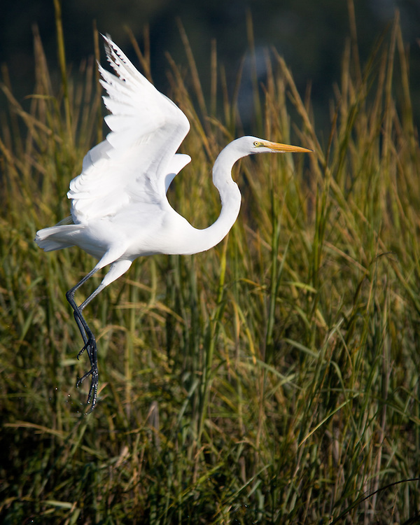Egret flies from May River marsh in early fall.