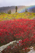 A rainbow rises from a carpet of fall color as a heavy rainstorm passes over the Bear Rocks in the Dolly Sods Wilderness, West Virginia.